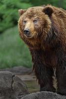 urso marrom kamchatka foto