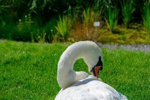 um lindo cisne mudo cygnus olor relaxando no prado foto