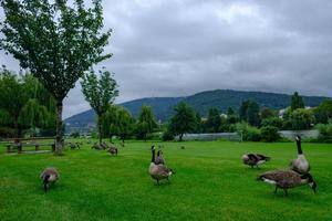 canada gansos branta canadensis pastando no parque neckarwiese, heidelberg, alemanha foto