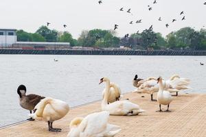 cisnes, gansos e outras aves no cais de salford em manchester foto