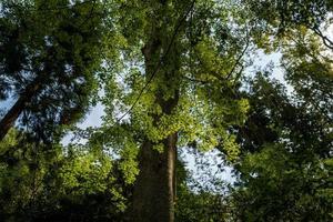 árvores de bordo em kamakura no japão foto