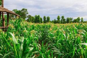 campo de milho verde em horta agrícola foto