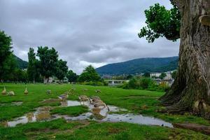 gansos do canadá bebendo água no parque neckarwiese, heidelberg, alemanha foto