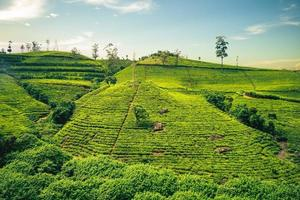 cenário de uma fazenda de chá em haputale, região montanhosa, sri lanka foto