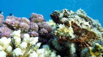 peixe-escorpião, peixe-osso do tipo peixe osteichthyes, scorpaenidae, scorpenopsis de cabeça chata. foto