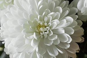 fundo de flor de crisântemo close-up. fundo de flor de crisântemo close-up. Primavera. foto