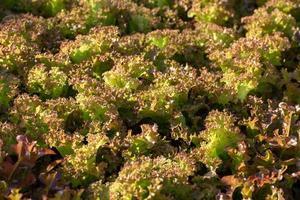 folhas de alface frescas saladas fazenda hidropônica de vegetais foto