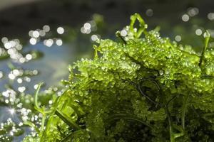 uvas do mar caviar verde algas marinhas comida saudável foto
