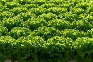 folha de alface campo verde folha de carvalho alface em campo foto