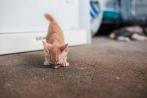 gato gatinho asiático de cabelo curto fofo foto