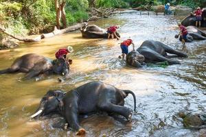 O elefante tailandês estava tomando banho com o motorista de elefante mahout e o tratador de elefantes no acampamento de elefantes maesa, chiang mai, tailândia foto