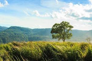 árvore e pastagem na montanha de phu-lom-lo, loei, tailândia. onde mais de 100.000 cerejas selvagens do Himalaia. prunus cerasoides sakura na tailândia foto