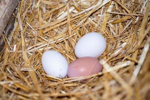 ovos recém-alimentados foto