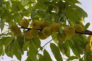 setembro pêssegos na árvore foto