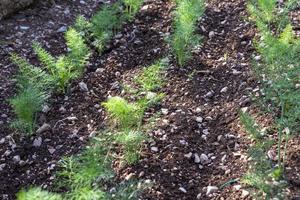 pequena plantação de erva-doce recém-cultivada foto
