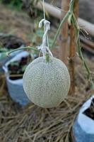 plantas de melão crescendo em estufa sustentadas por redes de melão de corda foto