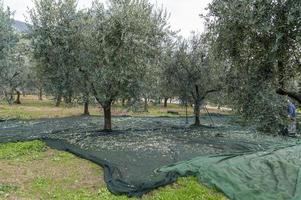 panos posicionados para a colheita da azeitona foto