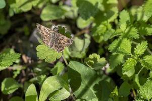 borboleta carcharodus alceae na vegetação foto