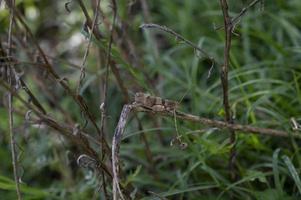 um oedipoda caerulescens na vegetação foto