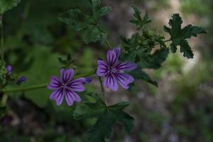 flores de malva em pleno verão foto