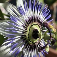 uma grande e variada flor de maracujá foto