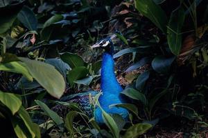 pavão na natureza foto