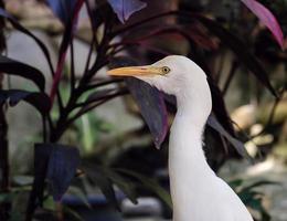 Garça-branca-grande na natureza, close up foto