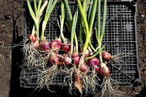 cebolas com raízes e ervas foto