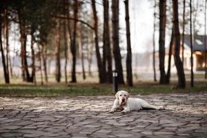 labrador retriever solitário relaxando ao ar livre no parque foto