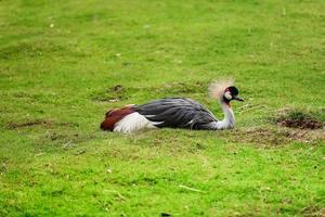 pato exótico relaxando na grama foto