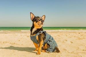 chihuahua sentado na praia, perto do mar foto