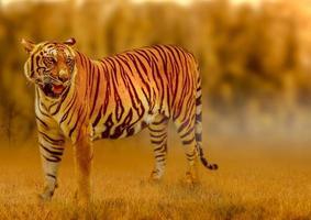 tigre, andando na luz dourada é um verão de caça de animais selvagens em áreas quentes e secas e belas estruturas de tigres foto