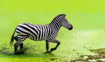 a zebra estava correndo graciosamente correndo na água verde foto