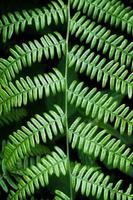 folhas verdes de samambaia na primavera foto