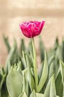 tulipa rosa em um canteiro de flores no jardim foto
