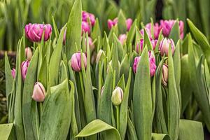 tulipas cor de rosa em um canteiro de flores no jardim foto