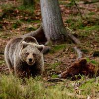 ursos-pardos na natureza, um grande mamífero após a hibernação, um predador na floresta selvagem e na vida selvagem. foto