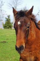 lindo retrato de cavalo marrom no prado foto