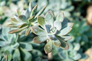 crassulaceae ou kalanchoe blossfeldiana poellnitz foto