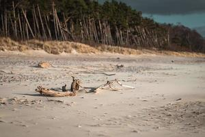 paisagem típica da costa do mar Báltico na Lituânia com floresta de pinheiros e praia de areia com céu azul em dia ensolarado foto