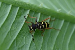 besouro variegado em uma folha verde foto