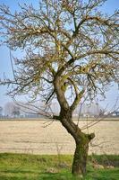 uma árvore florida na área rural de lomellina, norte da itália foto