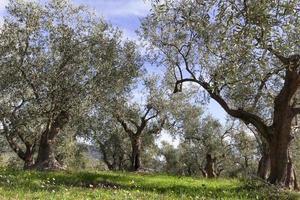 oliveiras da liguria foto