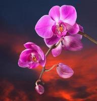 orquídea rosa no fundo do céu escuro foto