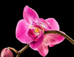 orquídea rosa em preto foto