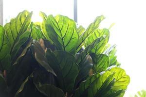 figueiras de folha de violino. planta em vaso artificial em casa. foto
