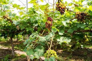 vinhedo com uvas para vinho branco no campo, cachos de uvas ensolarados pendurados na videira foto
