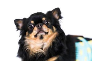 cachorro chihuahua fofo isolado no fundo branco foto