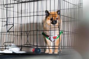 Cão da Pomerânia fofo na gaiola no salão de beleza para cães foto