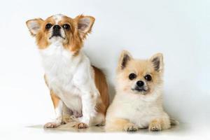dois cachorros chihuahua fofos em fundo branco foto